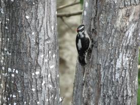 20130607-06-07-13_b_downy_woodpecker_f
