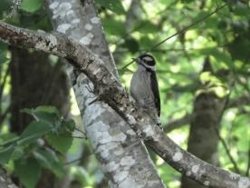 20130607-06-07-13_b_downy_woodpecker_i