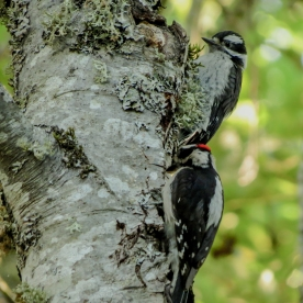 20130607-06-07-13_b_downy_woodpecker_s