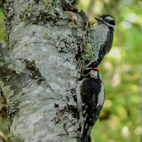 20130607-06-07-13_b_downy_woodpecker_s