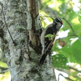 20130607-06-07-13_b_downy_woodpecker_y