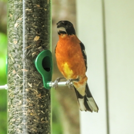 20130624-06-24-13_b_blackheaded_grosbeak_a