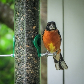 20130624-06-24-13_b_blackheaded_grosbeak_b