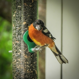 20130624-06-24-13_b_blackheaded_grosbeak_e