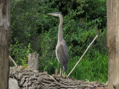 Great Blue Heron (Ash Slough)