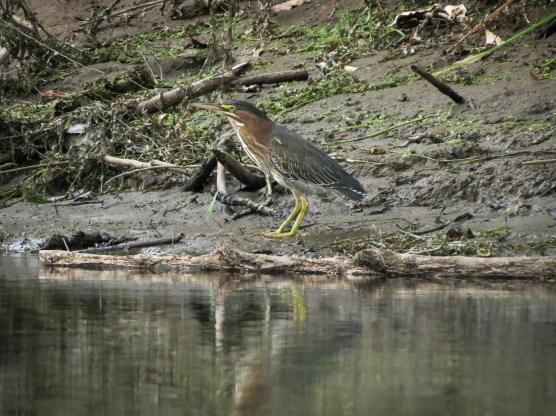 Green Heron (Ash Slough)