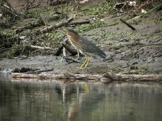 Green Heron (Ash Slough)