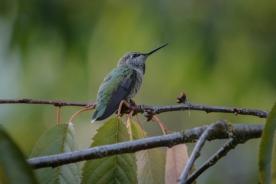 20130824-08-24-13_b_annas_hummingbird_a-2