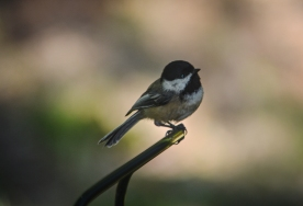 20130909-09-09-13_b_black-capped_chickadee_b