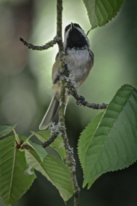 20130909-09-09-13_b_black-capped_chickadee_d