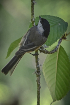 20130909-09-09-13_b_black-capped_chickadee_e