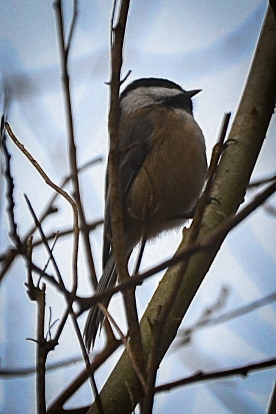20131209-12-09-13_b_black-capped_chickadee_a