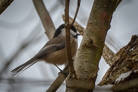 20131209-12-09-13_b_black-capped_chickadee_b
