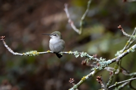20140101-01-01-14_b_annas_hummingbird_female_a