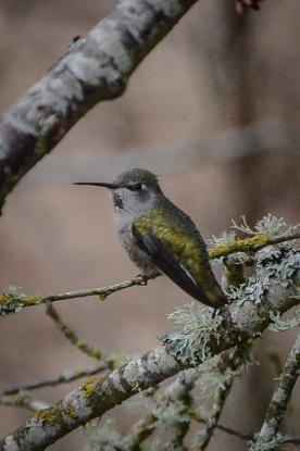 20140101-01-01-14_b_annas_hummingbird_female_f