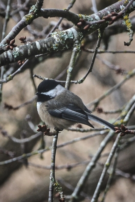20140101-01-01-14_b_black-capped_chickadee_b