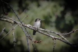 20140104-01-04-14_b_annas_hummingbird_female