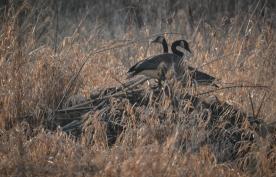 20140117-01-17-14_b_canada_geese_a