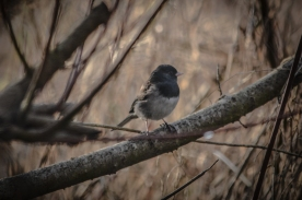 20140117-01-17-14_b_Dark-eyed_junco_a