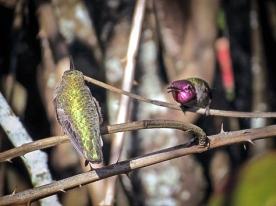 20140123-01-23-14_b_annas_hummingbird_h