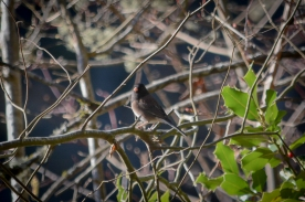20140123-01-23-14_b_dark-eyed_junco_1