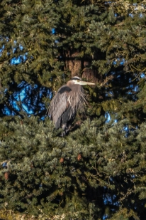 Great Blue Heron (Beaver Willows)