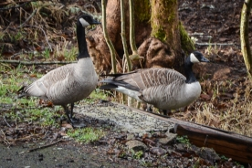 20140215-02-16-14_b_canada_geese_c