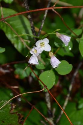 Spring Beauty (Cardamine nuttallii)