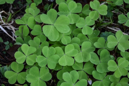 Redwood Sorrel Oxalis oregana
