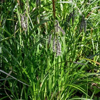 04-10-14_slough_sedge