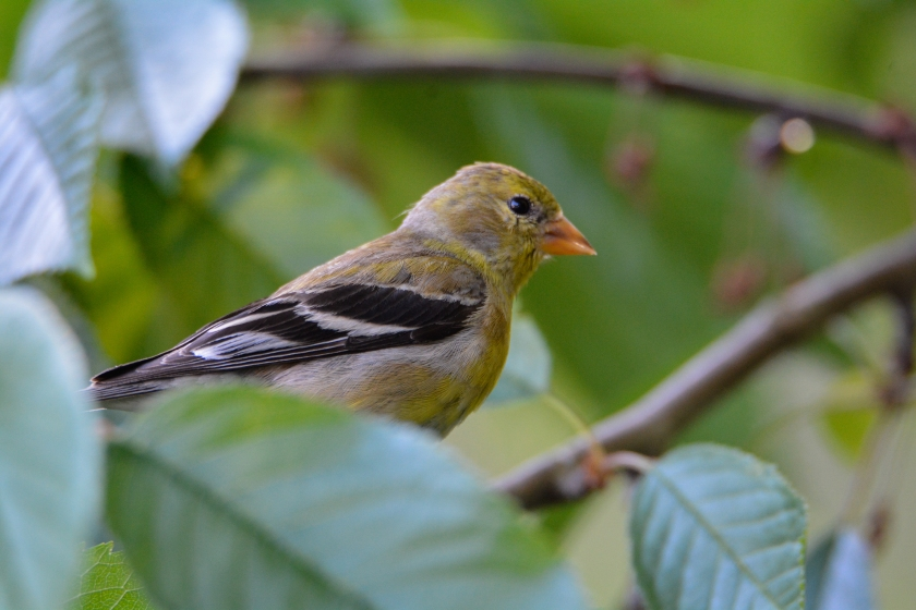 American Goldfinch_female_b