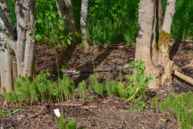 April-2014_native_plant_restoration_19