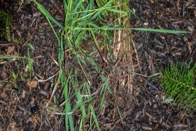 Thick rhizome system quickly dominates soil.