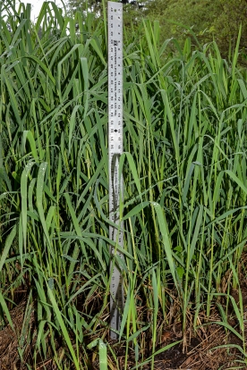 Grows 2-9 feet tall. Grasses in our wetland are already 4 feet tall.