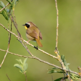Common Yellowthroat_a