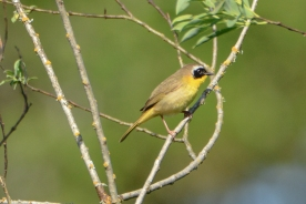Common Yellowthroat_c