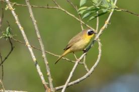 Common Yellowthroat_c