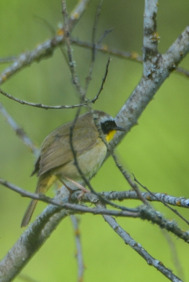 Common Yellowthroat_d