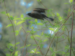 04-13-14_b_red-winged_blackbird_female_3