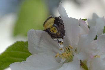 04-18-14_bumblebee_2