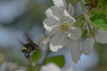 04-18-14_bumblebee_3