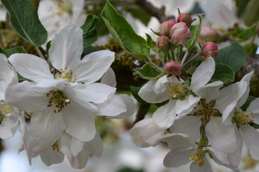 04-18-14_Delicious_Apple_blossom