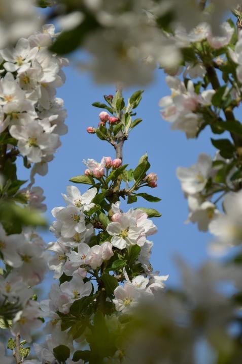 04-18-14_Delicious_Apple_blossoms