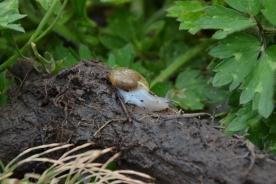 04-21-14_art_snail_robust_lancetooth_snail_1