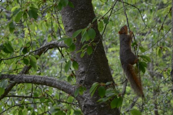 05-02-14_m_eastern_fox_squirrel_1