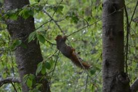 05-02-14_m_eastern_fox_squirrel_2