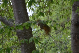 05-02-14_m_eastern_fox_squirrel_3