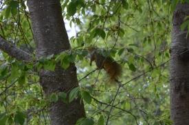 05-02-14_m_eastern_fox_squirrel_3