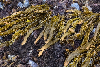 Comment from C. Trowbridge: SeaweedGreat photo! The brown alga is actually a kelp (Egregia menziesii) rather than a rockweed. The red alga below it is the test-tube brush alga (Neorhodomela larix) which contains high levels of bromophenolic compounds for chemical defense.