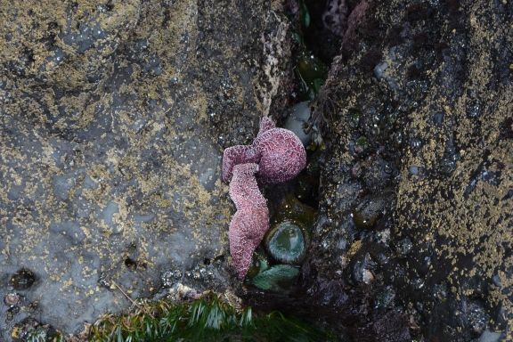 Ochre Sea Star feeding, Giant Green Anemones